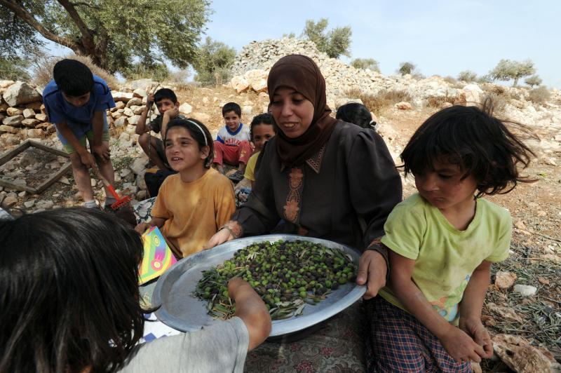 3) Палестинцы собирают оливки в оливковых рощах в местечке Сильвад на Западном берегу. (UPI/Debbie Hill)