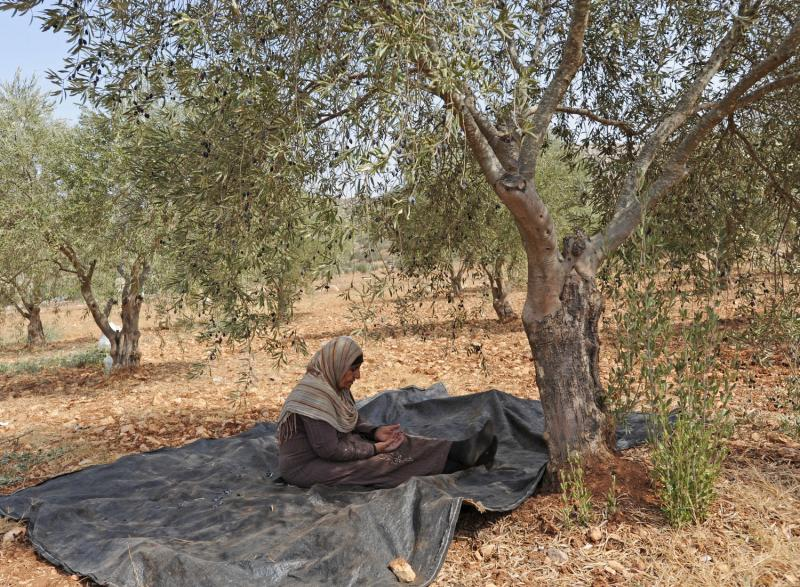 4) Палестинка молится под оливковым деревом во время ежегодного сбора урожая в местечке Турмус-Айя на Западном берегу. (UPI/Debbie Hill)
