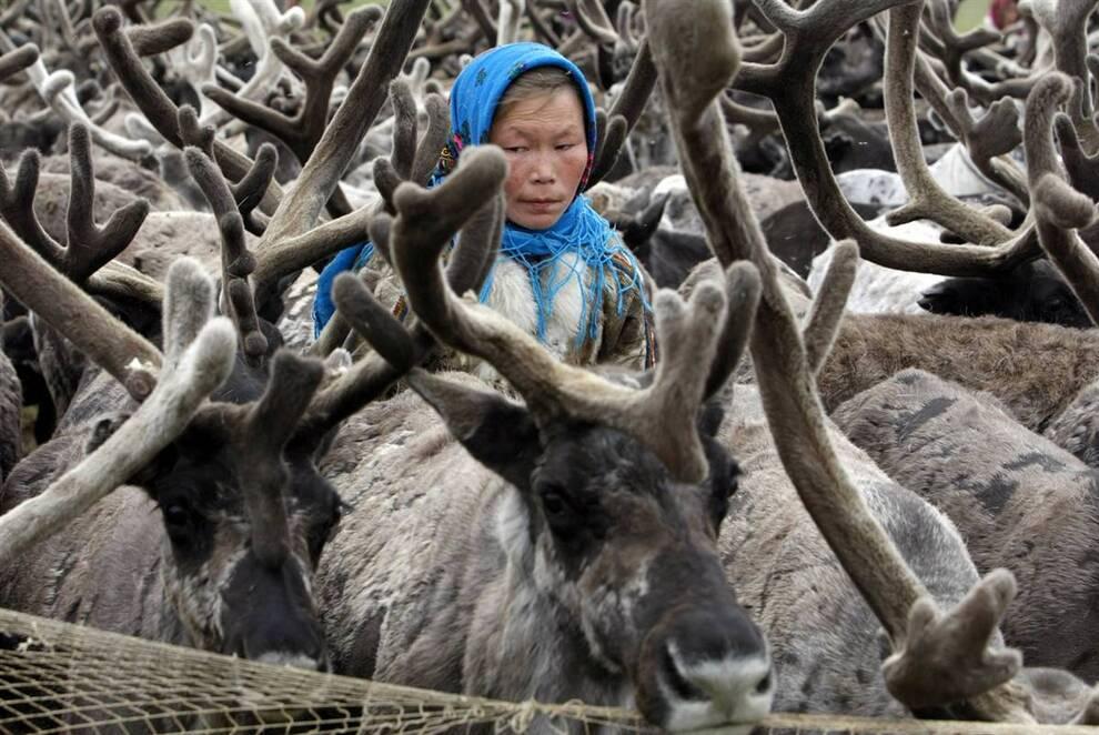 4. Ненцы зависят от оленей, на которых они путешествуют, а также от палаток, керосиновых ламп и печей с дровяным обогревом. На оленях, запряженных в сани, можно перевозить дома и провизию. (Denis Sinyakov/Reuters)