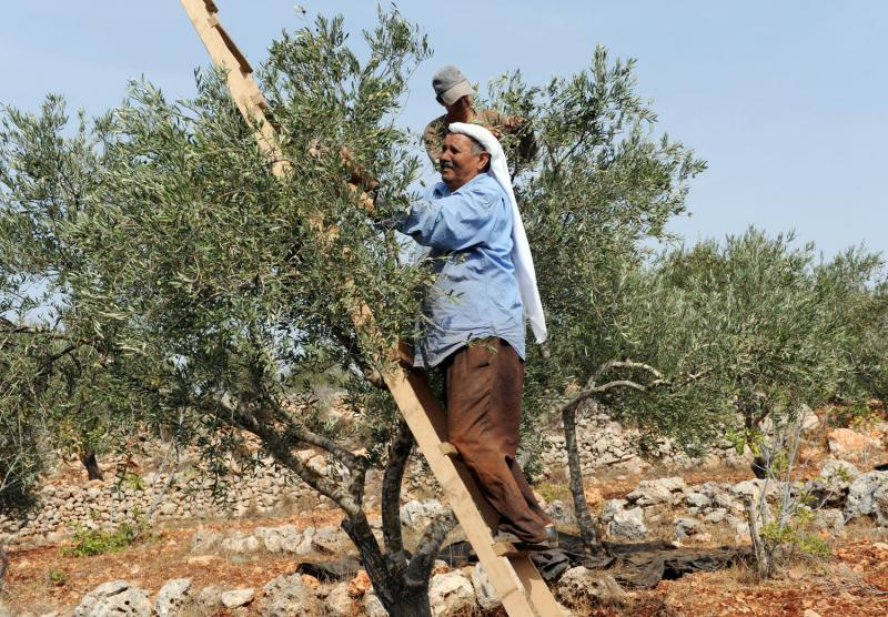 5) Палестинцы собирают оливки в Турмус-Айя на Западном берегу.(UPI/Debbie Hill)