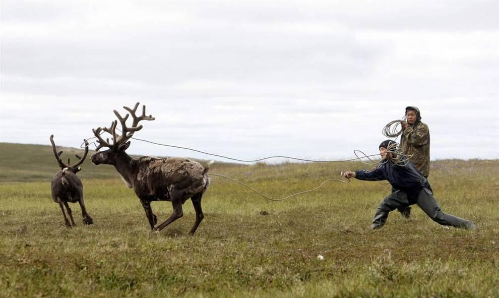 ловля оленей картинки тоже столкнулся