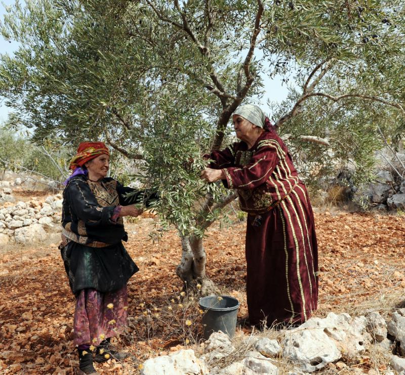 6) Палестинские женщины в традиционной одежде собирают оливки в местечке Турмус-Айя на Западном берегу. (UPI/Debbie Hill)