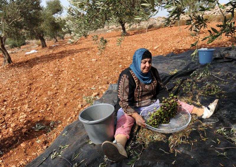 7) Палестинка выбирает листья из собранных плодов в оливковых рощах  местечка Турмус-Айя на Западном берегу.(UPI/Debbie Hill)