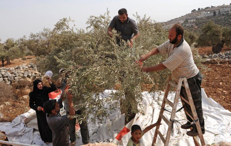 8) Палестинцы собирают оливки в оливковых рощах в местечке Сильвад на Западном берегу. (UPI/Debbie Hill)