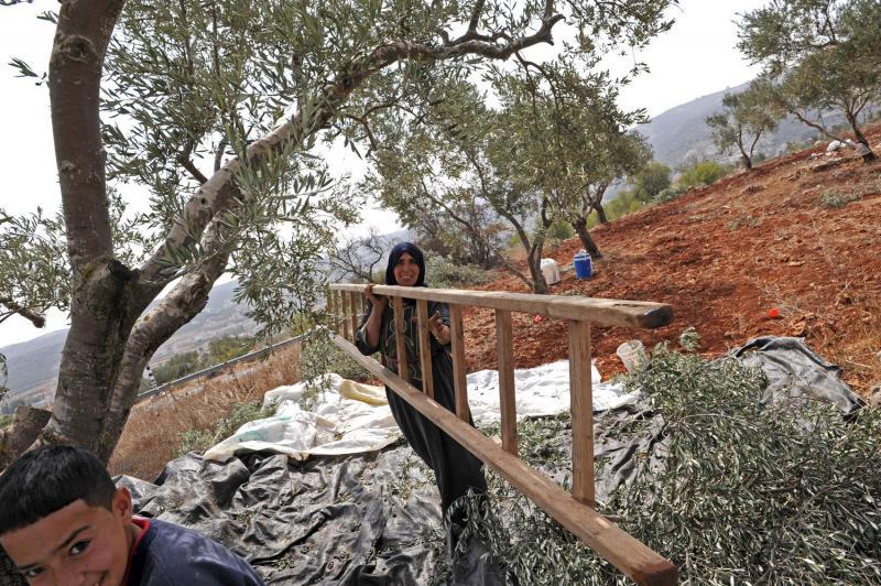 10) Палестинец несет лестницу в оливковой роще, в ходе ежегодного урожая в оливковых рощах местечка Турмус-Айя на Западном берегу.(UPI/Debbie Hill)