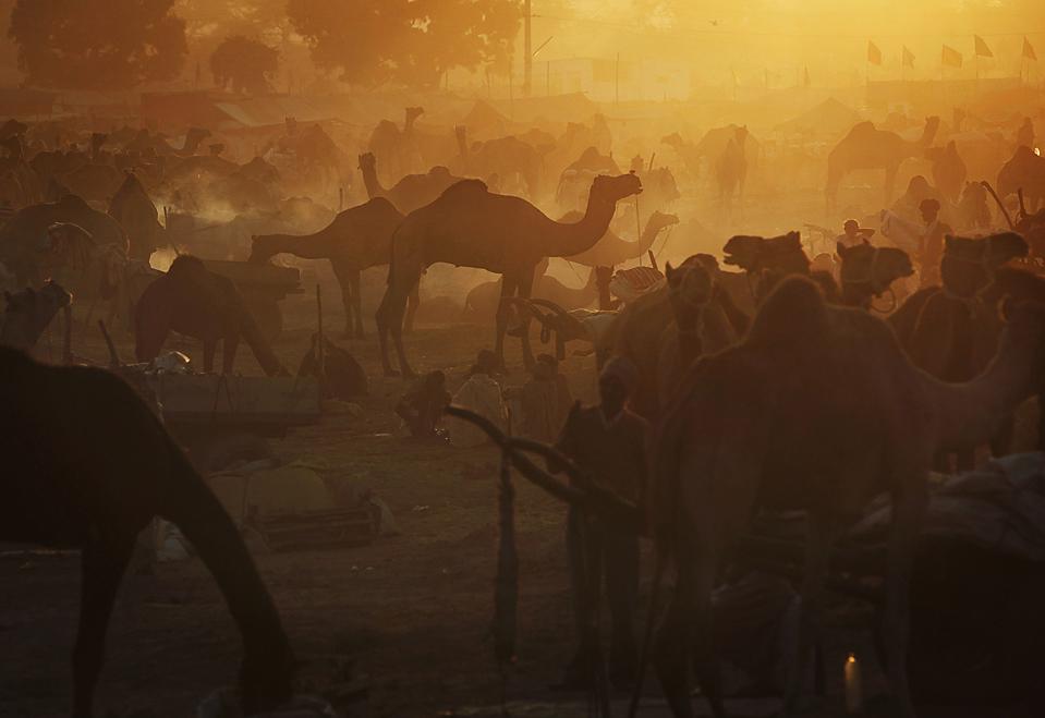 4. Торговцы домашним скотом ухаживают за своими верблюдами на ярмарке Пушкар Мела в Раджастане, Индия. Этому фестивалю, в котором принимают участие и другие животные, уже несколько сотен лет. (Kevin Frayer/Associated Press)