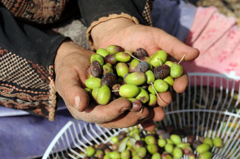 11) Палестинка держит оливки собранные в оливковых рощах в Турмус-Айя. (UPI/Debbie Hill)