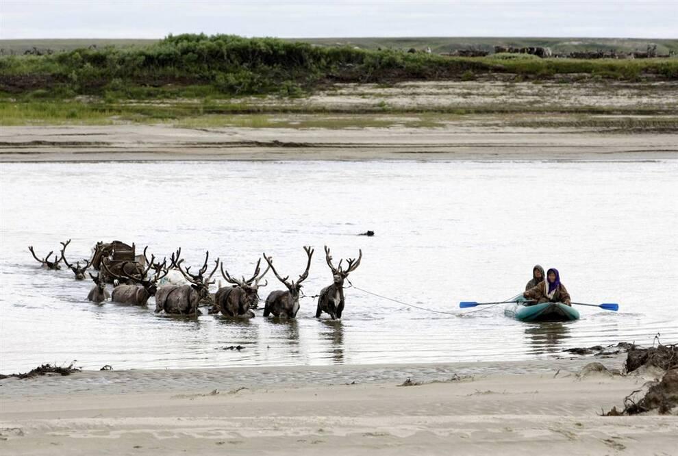 12. Ненцы переплывают через реку Юрибей со стадом оленей. Стадо из 70-100 оленей может полностью обеспечить домашнее хозяйство. Раньше ненцы были главной этнической группой в регионе, но теперь она составляет всего 10% населения. Большинство населения составляют русские – 60%. (Denis Sinyakov/Reuters)