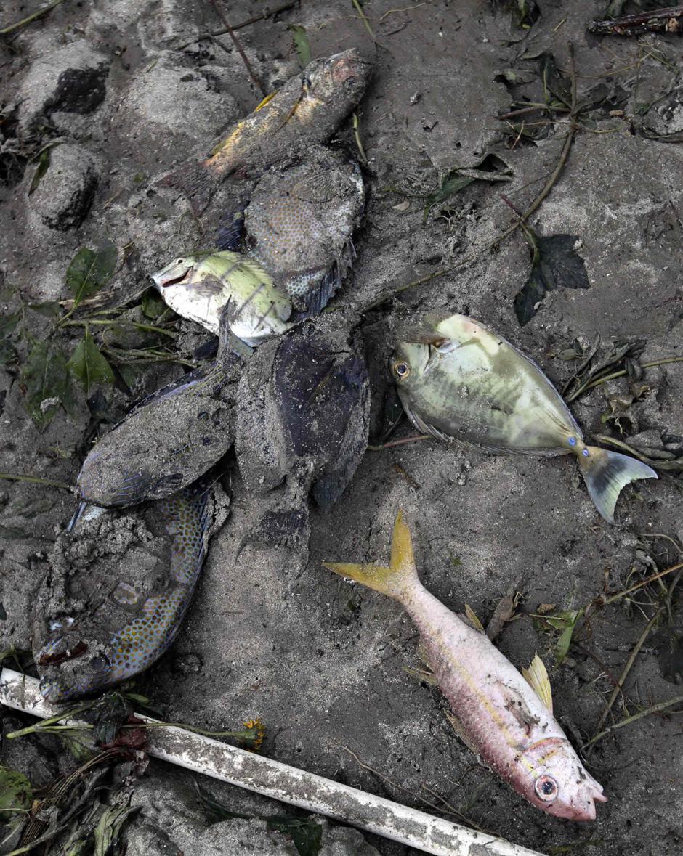 16) Дохлая рыба в грязи в Maninoa Siumu на южном побережье Западного Самоа, после удара цунами.