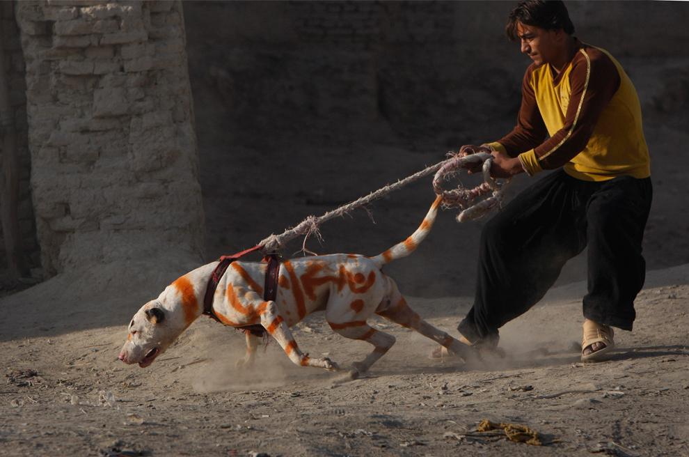 38. Собака в оранжевых полосках, надрессированная для собачьих боев, тянет своего хозяина на прогулку в Кабуле 25 октября 2009 года. (AP Photo/ Gemunu Amarasinghe)