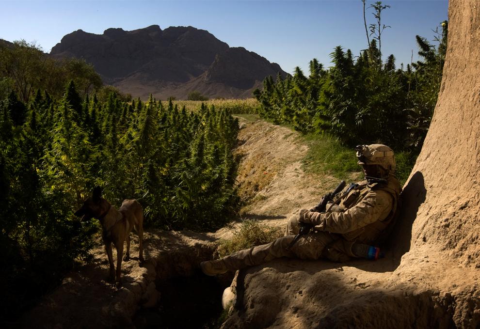 25. Кинолог военно-морской пехоты США из второго батальона отдыхает от патрулирования у поля с марихуаной во время трехдневной операции «Герминат» в неспокойной провинции Фарах, южный Афганистан, 9 октября 2009 года. (DAVID FURST/AFP/Getty Images)