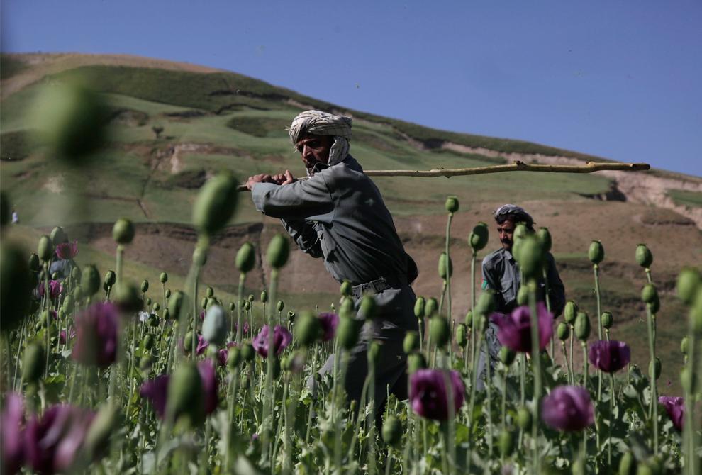 30. Офицеры полиции из округа Ар Гул размахивают длинными палками, чтобы уничтожить нелегально выращиваемый опиум в провинции Бадахшан, Афганистан, 16 июля 2009 года. Два года назад опиум – сырье для производства героина – выращивался на полях общей площадью 202 342 гектаров. Это был крупнейший урожай опиума в мире. Облавы правительства на опиумные поля привели к экономическому бедствию для многих сообществ по всей стране. (AP Photo/Julie Jacobson)
