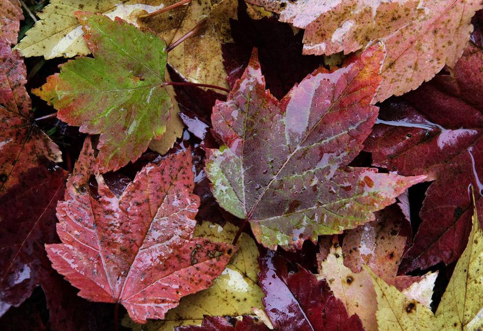 9. Опавшие кленовые листья намокли под дождем в Мореланд Хиллс, штат Огайо. (AP / Amy Sancetta)