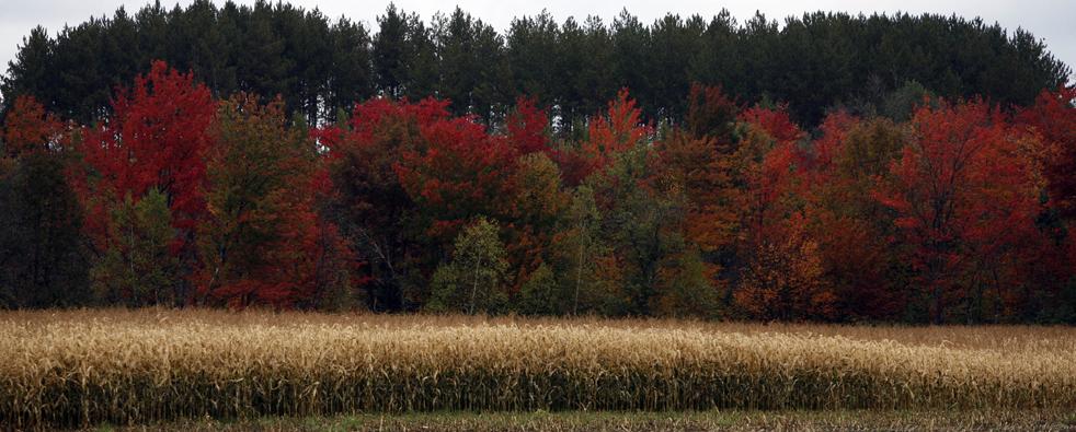 12. Деревья в пике осенних красок с вечнозелеными елями на заднем фоне и кукурузным полем на переднем в Северном Портланде, штат Мэн, в среду 30 сентября. Метеорологи предсказывали, что в этом году листва будет особенно яркой и разнообразной из-за сильных дождей в начале лета. (AP / Pat Wellenbach)
