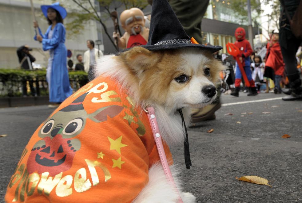 15. Чихуахуа по кличке Аи присоединилась к детям на параде в честь Хэллоуина в Токио 25 октября. Около 1000 детей в хэллоунских костюмах приняли участие в параде «Хараюки Омотесандо 2009». (AFP / Getty Images / Toshifumi Kitamura)