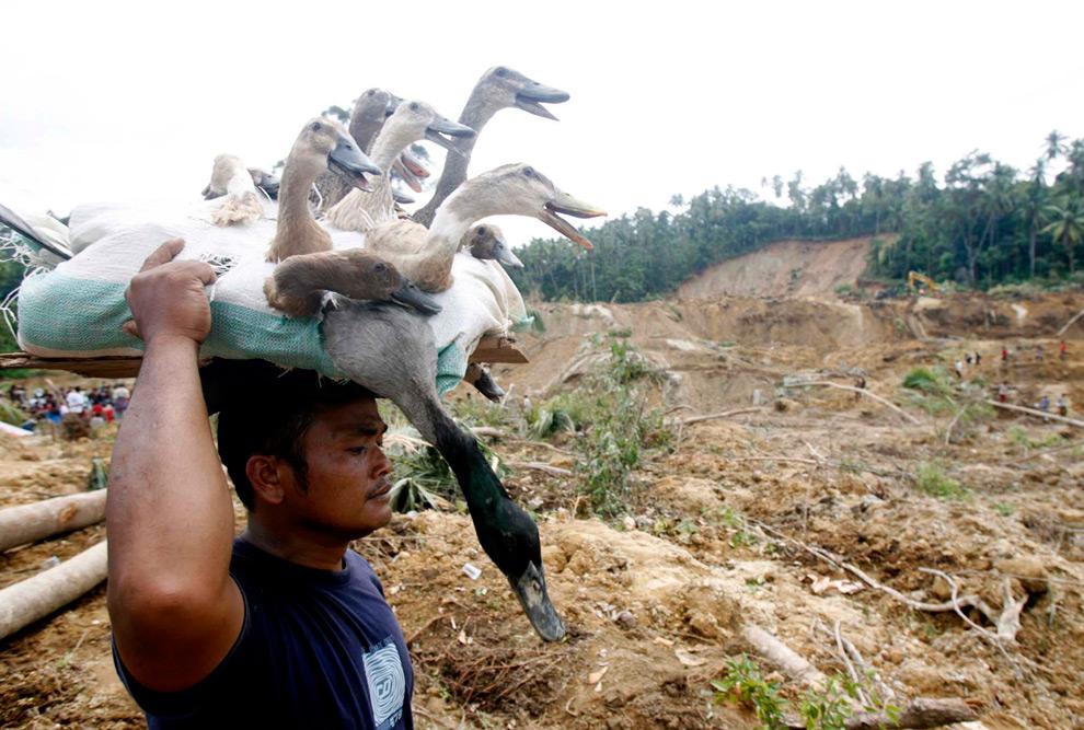 16. Мужчина несет уток, которых вынес из своего дома, разрушенного в результате землетрясения в приморском городе Паданг в провинции Западная Суматра 4 октября 2009 года. (REUTERS/Crack Palinggi)