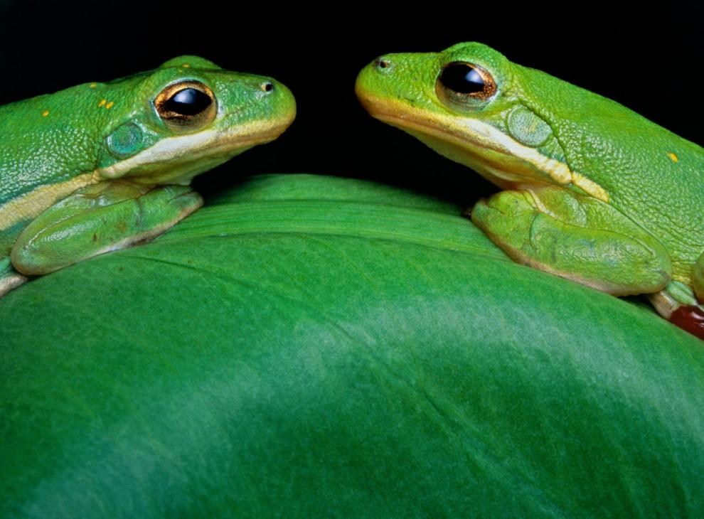 1. На ночном свидании две зеленые лягушки-древесницы встретились мордочка к мордочке на листке в дельте реки Атчафалайя. (John Eastcott and Yva Momatiuk)