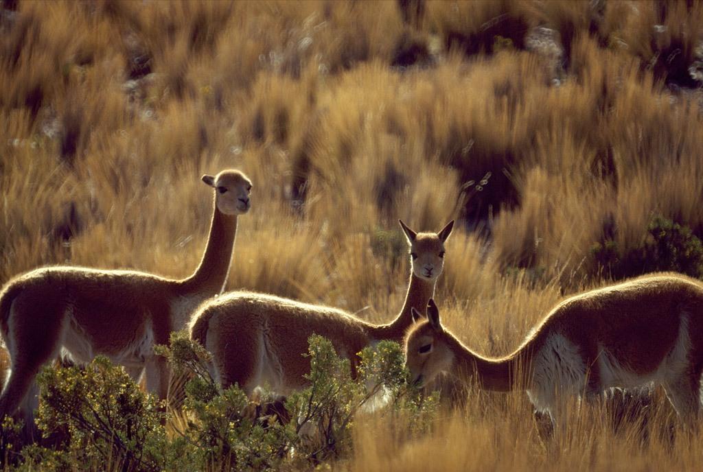 2. Викуньи обитают в высокогорных степях Южноамериканских Анд. Охота на этих копытных всегда была распространена из-за их мяса и шерсти, поэтому этот вид почти исчез,   однако многие нашли защиту в заповеднике Перу Пампа Галерас. (Steve Raymer)