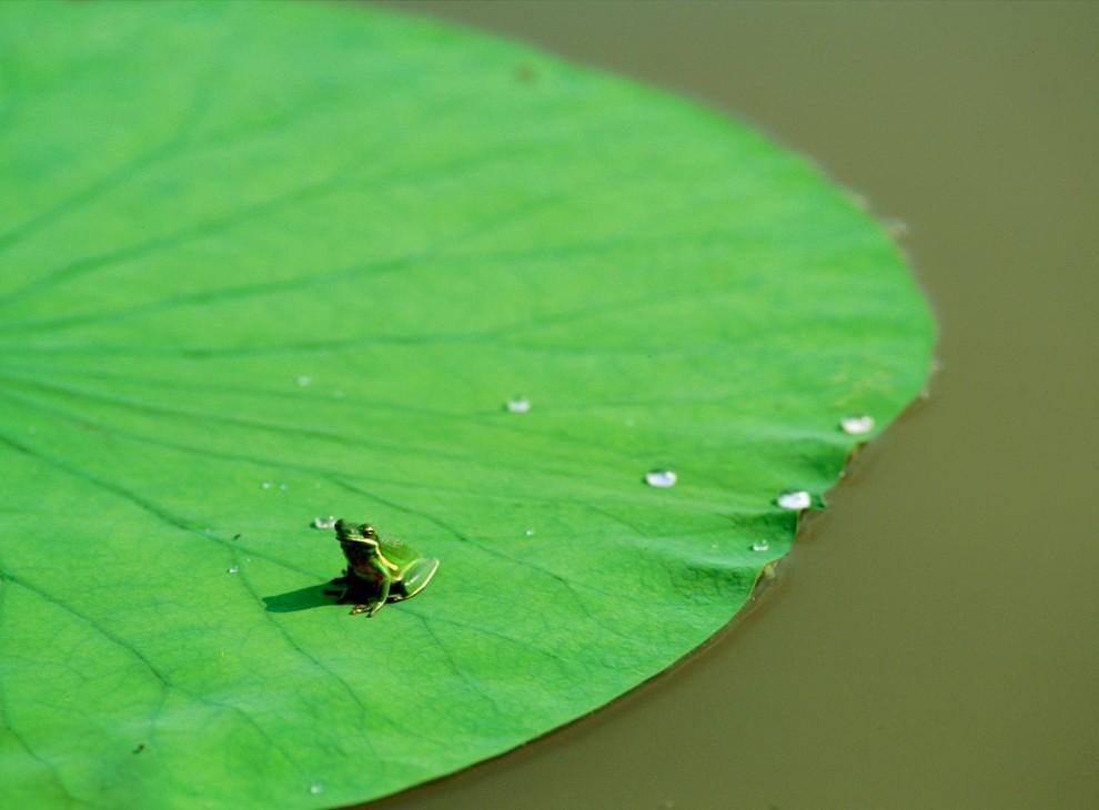 2. Зеленая лягушка сидит на огромной лилии в водах Атчафалайя Дельта. Хотя эта квакушка – любительница заболоченных протоков реки, ее вид распространяется до самой северной Канады. (James P. Blair)