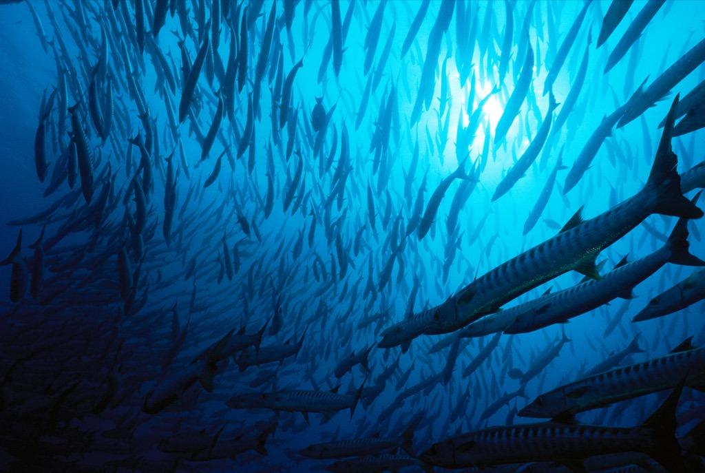 2. Плотный косяк черноперой щуки наводнил воды острова Сипадан, Малайзия. Это хищные рыбы, но иногда они собираются в группы, чтобы защитить себя от более крупных акул. (Tim Laman)