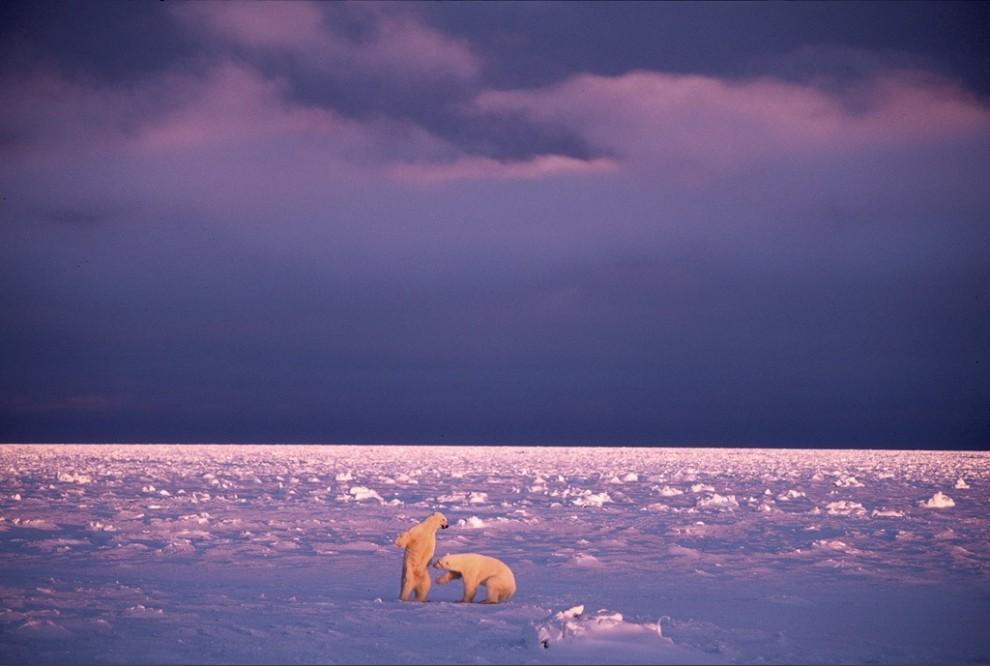 3. Два белых медведя дерутся в снегу на фоне спускающегося красновато-лилового заката над Черчиллем, Манитоба, Канада. Ученые опасаются, что изменение климата может негативно сказаться на этих видах животных. (Paul Nicklen)