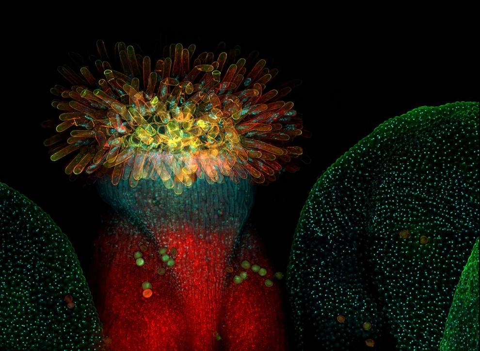 3. Хаити Пейвс – исследователь из Таллиннского университета технологий – использовал конфокальную микроскопию для создания этого необычного снимка цветка арабидопсиса, который является распространенным модельным организмом в биологии растений и генной инженерии. Эта фотография заняла 8-ое место на конкурсе «Olympus BioScapes Digital Imaging 2009». (Heiti Paves)