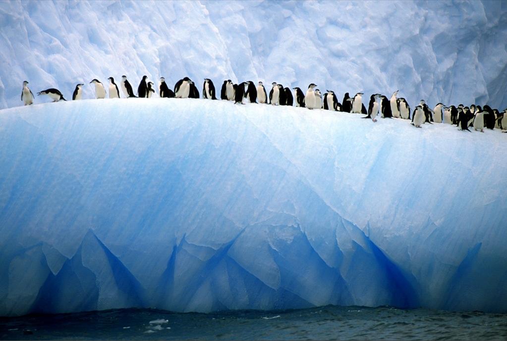 3. Антарктические пингвины выстроились в ряд у края айсберга в Атлантических водах. Антарктический – один из наиболее многочисленных видов пингвинов, некоторые колонии которых живут на дрейфующих айсбергах. (Ralph Lee Hopkins)
