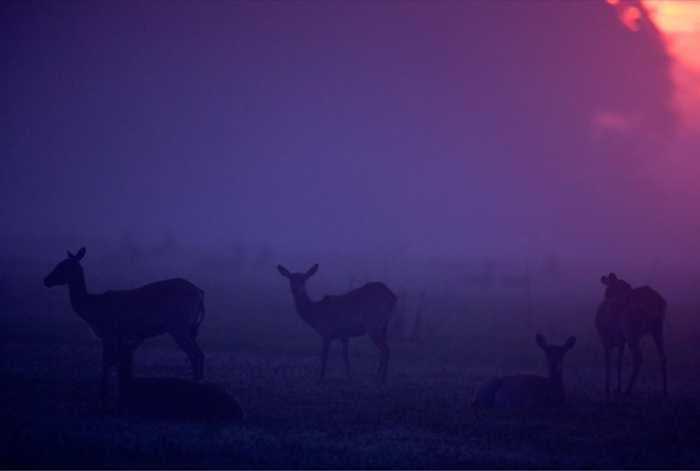 4. Личи отдыхают на фоне отдающего лиловым заката над Дельтой Окаванго в Ботсване. Хорошо адаптированные к жизни во влажных районах, эти антилопы обычно питаются полуводной травой. (Beverly Joubert)
