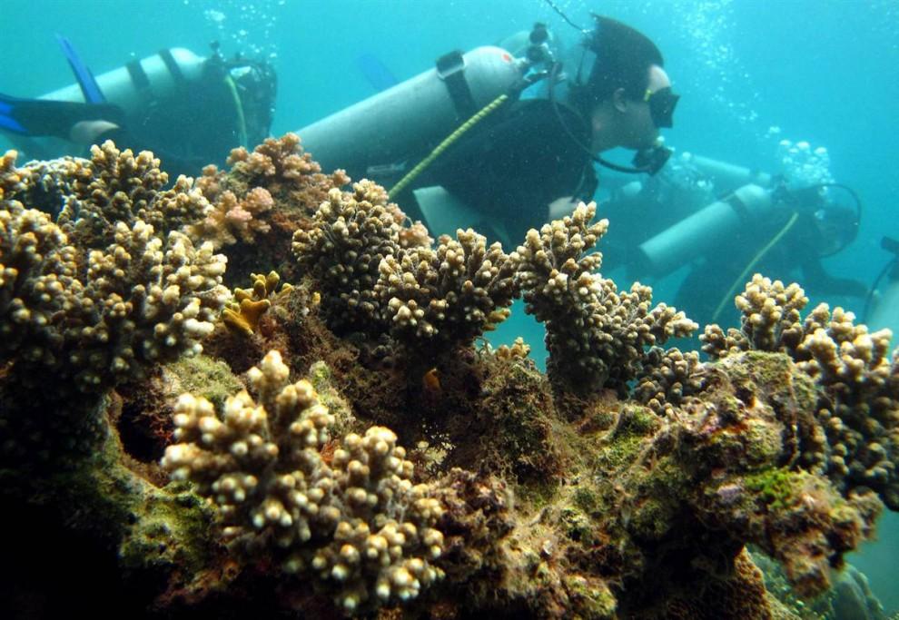 4. Рифы подобно этому в заливе Батангас к югу от Манилы, Филиппины, дают жизнь не только крошечным кораллам, но и рыбам, которые живут и питаются на рифах. (Dennis M. Sabangan / EPA)
