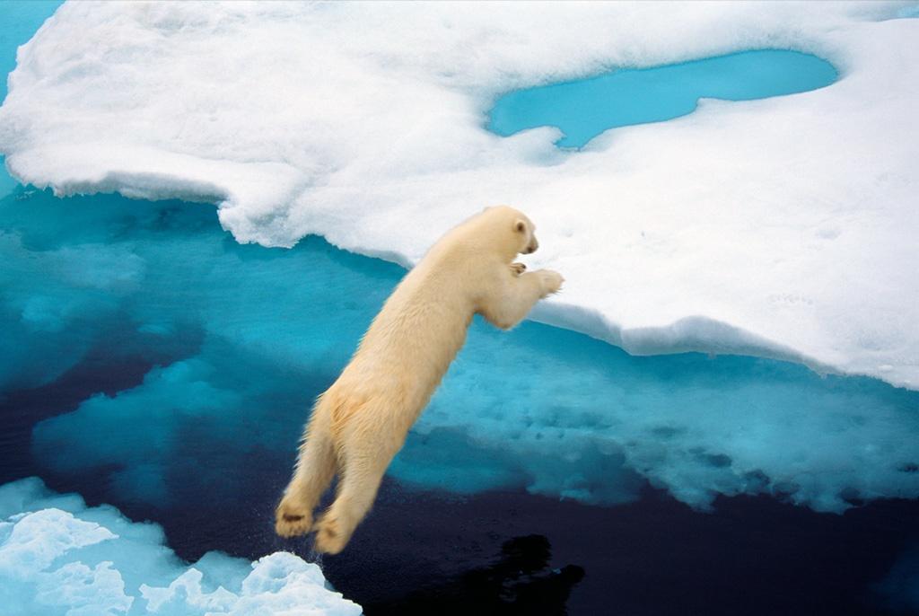 4. Белый медведь спрыгивает с айсберга недалеко от острова Дэйвон в Канадской Арктике. Белые медведи – хорошие плавуны, у них слегка перепончатые лапы, которые помогают им грести. (Ralph Lee Hopkins)