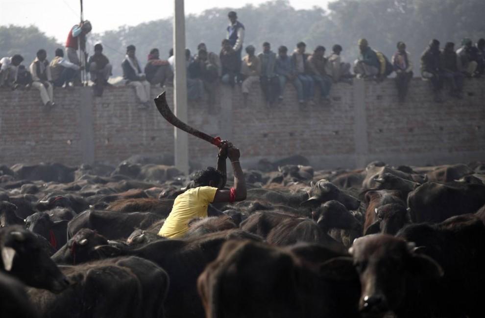 5) 24 dan 25 November, lebih dari 200 000 kerbau, babi, kambing, ayam dan merpati di Bait Allah seharusnya pembantaian di hutan Bara kabupaten.  (Shruti Shrestha / Reuters)