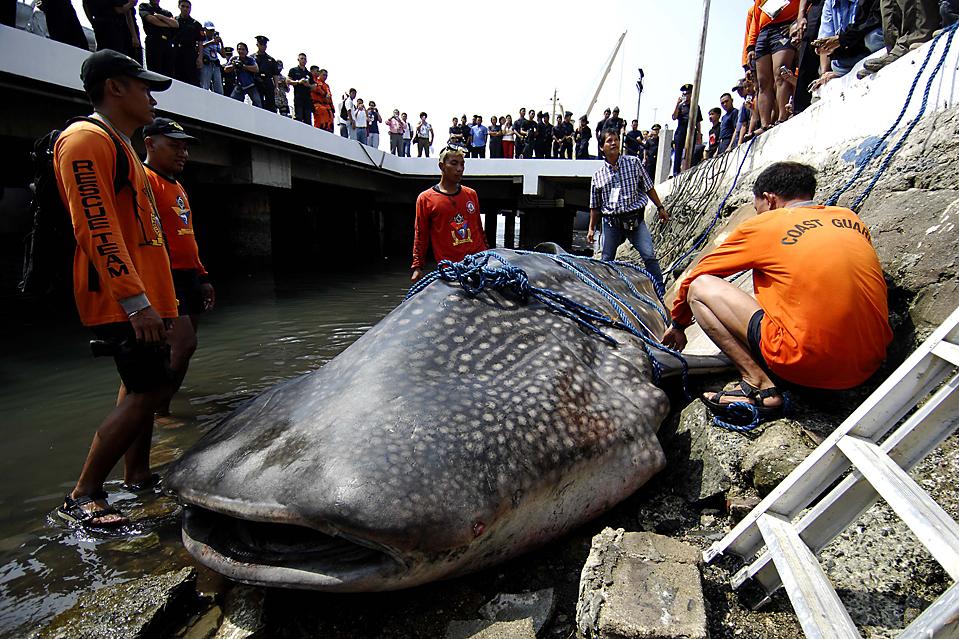 5) Филиппинская береговая охрана возле трупа 17 футовой китовой акулы, которую нашли рыбаки у волнореза залива Манила. Члены береговой охраны, которые прибыли на место происшествия заявили, что не нашли следов травм, за исключением раны на хвосте. Причина смерти китовой акулы до сих пор неизвестна. (Noel Celis/AFP/Getty Images)
