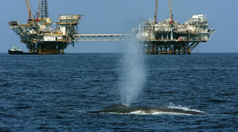 5. Редкий, находящийся под угрозой вымирания голубой кит плывет у берегов Лонг Бич, Калифорния. Несколько лет назад голубых китов практически невозможно было увидеть вдоль прибрежной линии Калифорнии, однако их миграция и образ питания меняются. Ученые считают, что изменение климата повлияло на питание голубых китов – крупнейших млекопитающих на Земле. (David McNew / Getty Images)