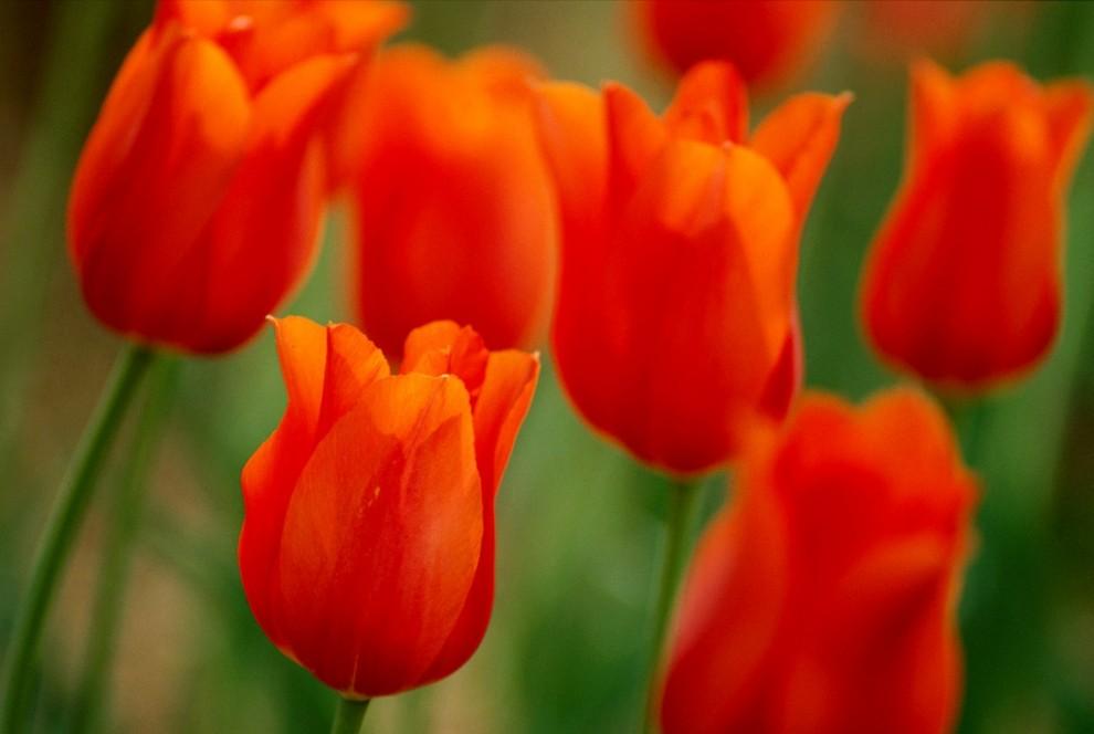 6. Яркие тюльпаны в ботаническом саду «Сэмюэлс Балб» Сент-Луиса. Открывшийся в 1859 году, сад является международным центром ботанических исследований и круглогодичным оазисом для любителей цветов. (James Blair)
