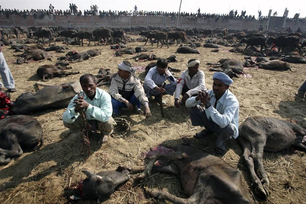6) Pria beristirahat setelah pembunuhan massal hewan.  Bangkai hewan mati beriman mengambil kembali ke desa mereka dan makan selama liburan.  Daging dianggap diberkati, dan orang-orang percaya bahwa penggunaan melindungi melawan kejahatan.  (Gopal Chitrakar / Reuters)