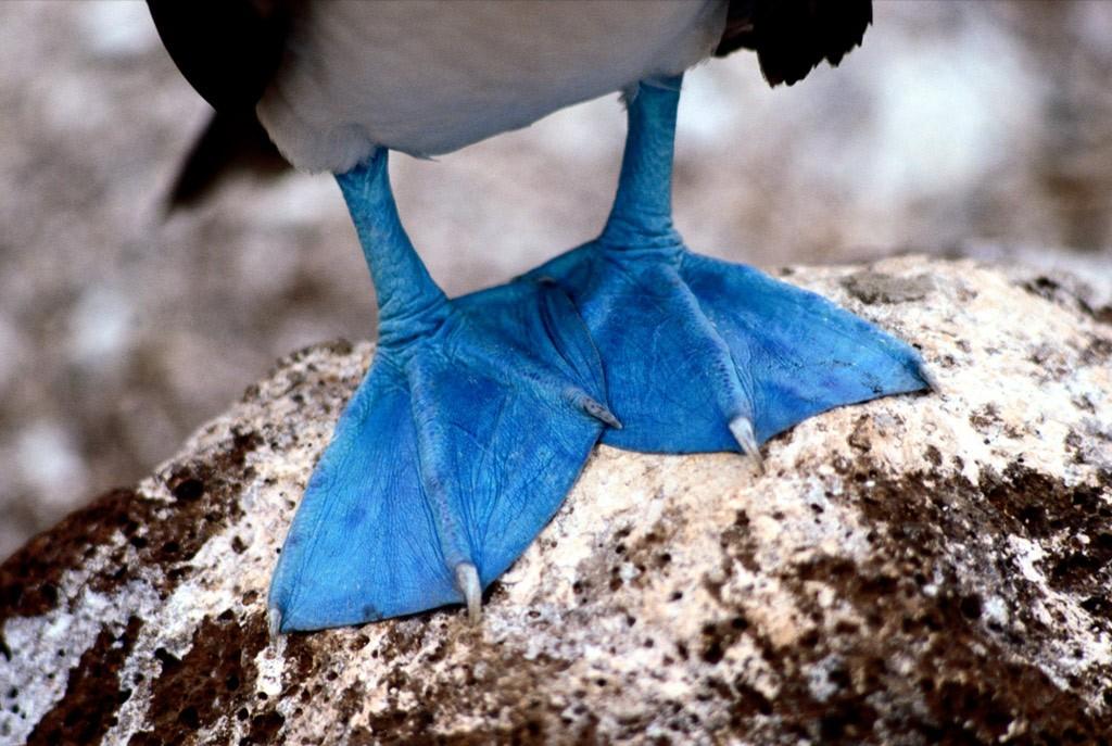 6. Эти особые перепончатые лапы принадлежат голубоногой олуше с Галаппагосских островов. Чем голубее, тем лучше: во время брачного сезона самцы начинают красоваться перед самками, и те, у кого лапы имеют более яркий и насыщенный цвет, имеют большие шансы привлечь самок. (Tim Laman)
