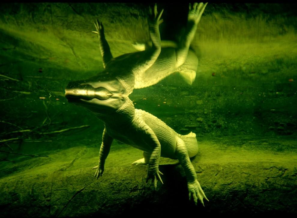 7. Редкий белый аллигатор плывет в зоопарке в Новом Орлеане. Аллигаторы-альбиносы практически не могут выжить в дикой природе, потому что их светлая кожа почти не предоставляет защиты от солнца. (Joel Sartore)