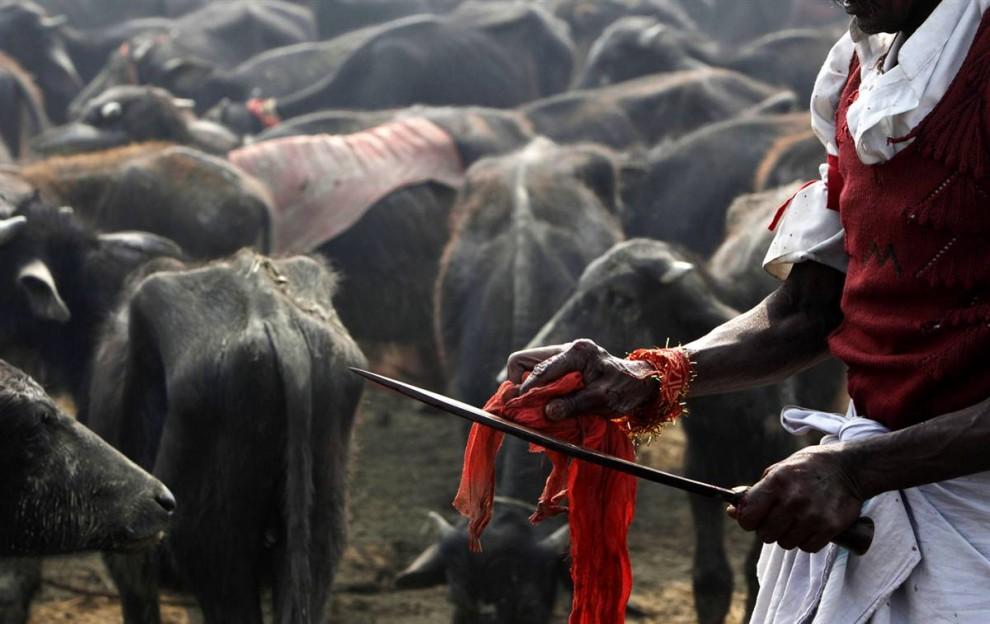 7) Jagal Para tisu darah dari pisau setelah ia memotong kerbau.  (Gemunu Amarasinghe / AP)