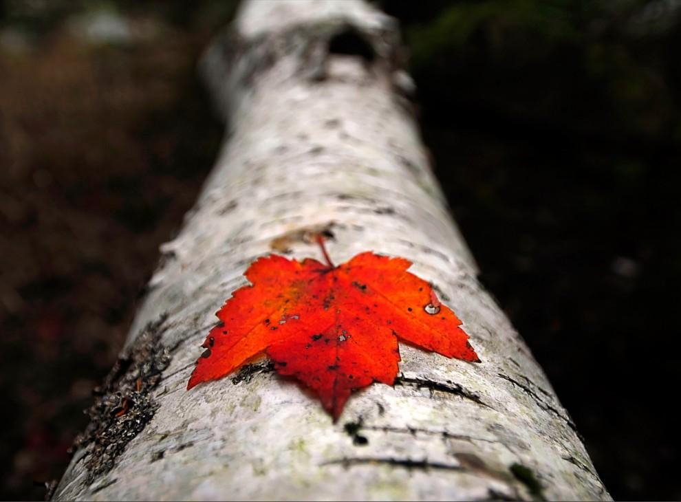 7. Одинокий кленовый листок лежит на стволе упавшего дерева в Национальном парке Акадия в штате Мэн. В США растет около 90 разновидностей кленов. (Raul Touzon)