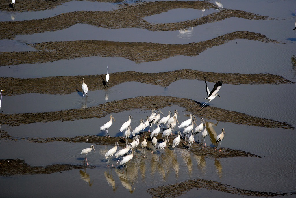 8. Стая аистов собралась на кормежку в грязном устье реки Коста Рики. В бассейне реки Темписк представлено все разнообразие экосистемы Коста Рики – от влажных горных лесов до низменных болот и трясин. (Robert B. Haas)