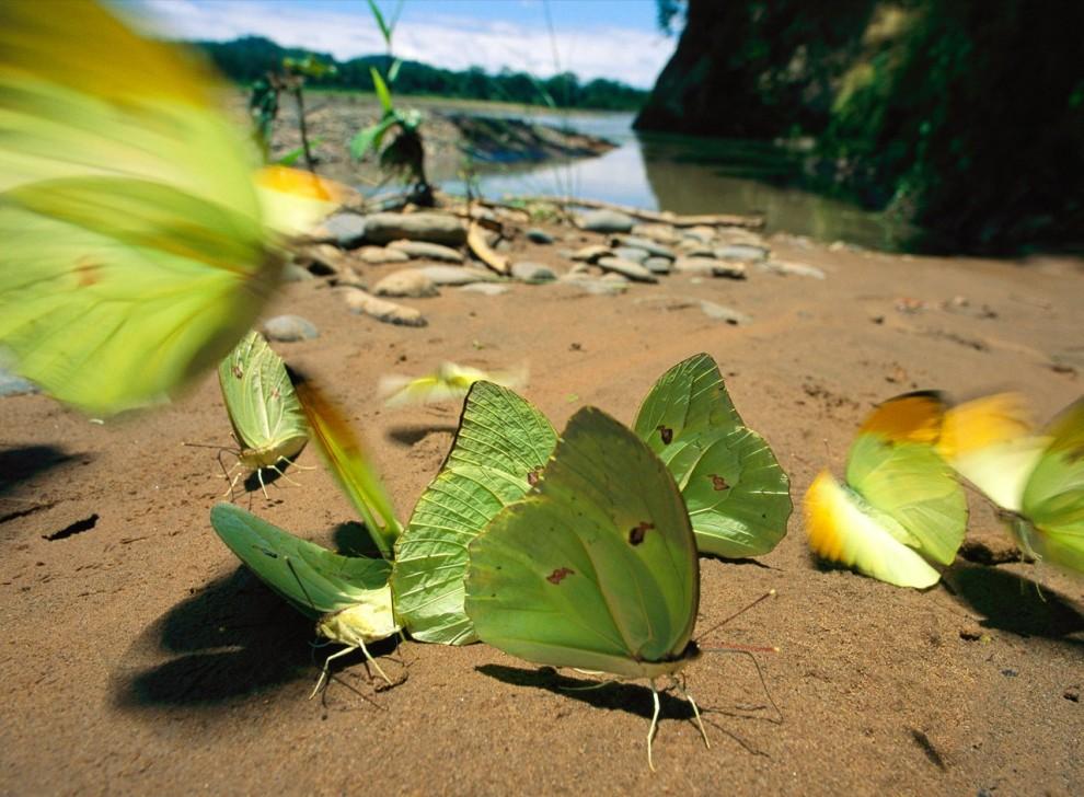 8. Зеленые бабочки-белянки на песчаном берегу реки Туичи в Нациоанльном парке Боливии Мадиди. На обширной территории парка располагается широкая экосистема – от заснеженных вершин Альп до тропических амазонских низменностей. (Joel Sartore)