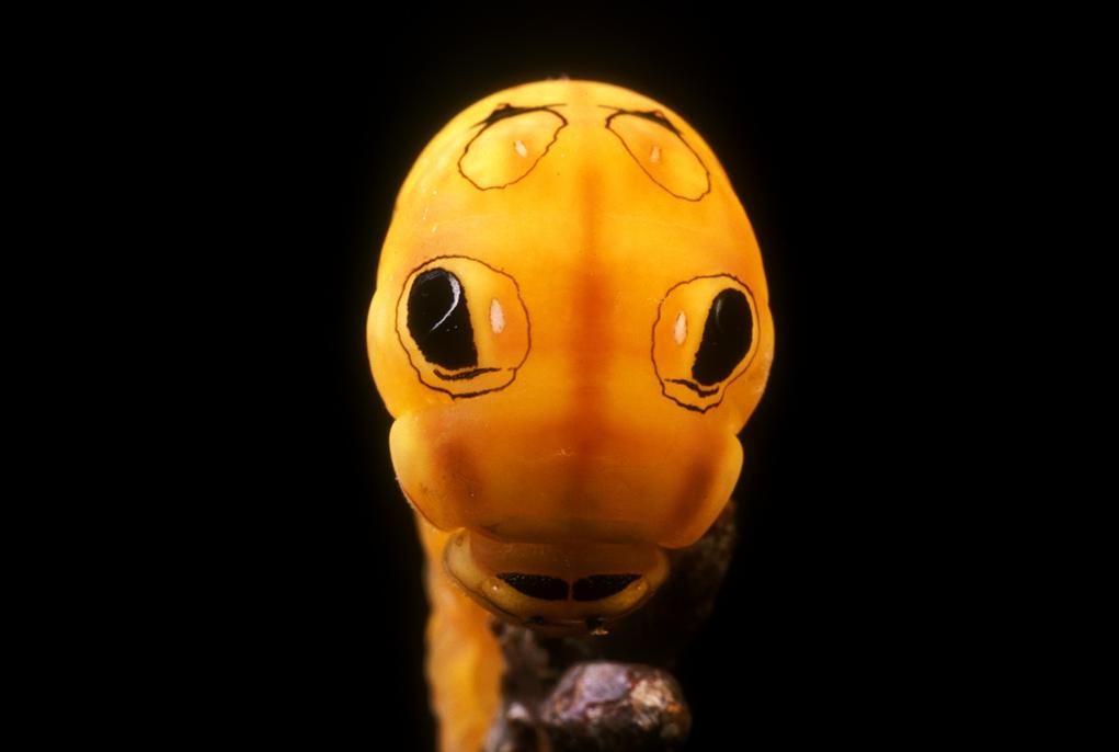8. Глазки гусеницы в Кейп Код, штат Массачусетс, помогают отпугнуть хищников, ищущих легкой добычи. (Darlyne Murawski)