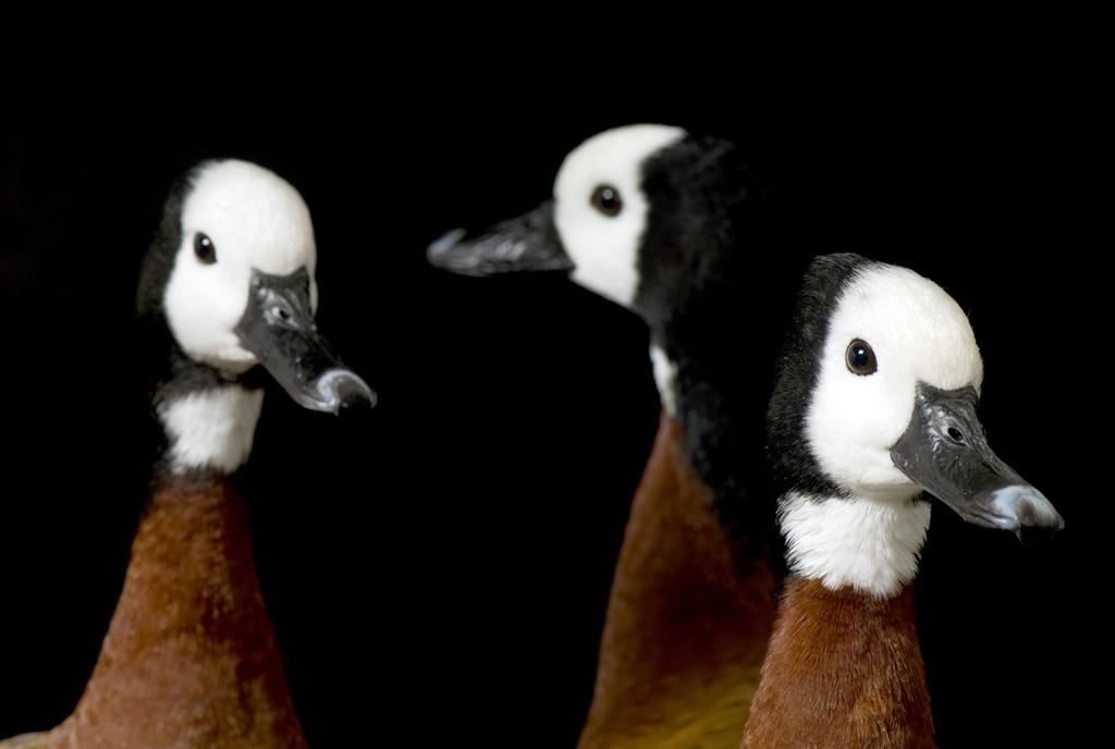 9. Эти три беломордые свистящие утки живут в зоопарке Брамбл в Вотертауне, Южная Дакота. Однако на воле их сородичи обитают в теплых климатах Центральной и Южной Америки, в бассейне Карибского моря и на территориях расположенных к югу от Сахары. (Joel Sartore)