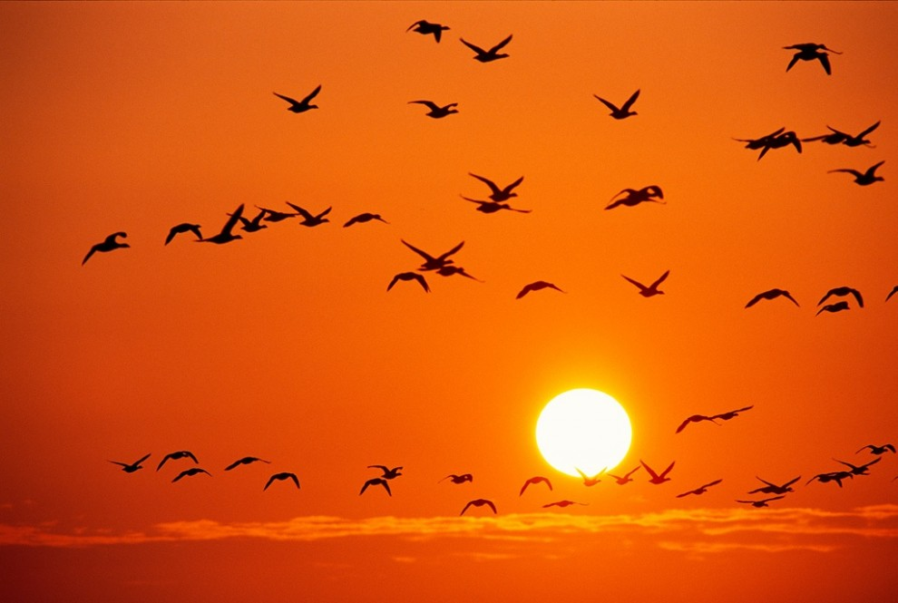 9. Птицы на фоне оранжевого неба над национальном парком Германии Ваттенмер. Эта прибрежная территория, затопляемая во время прилива, является домом для 3200 видов животных и популярным местом отдыха перелетных птиц. (Norbert Rosing)