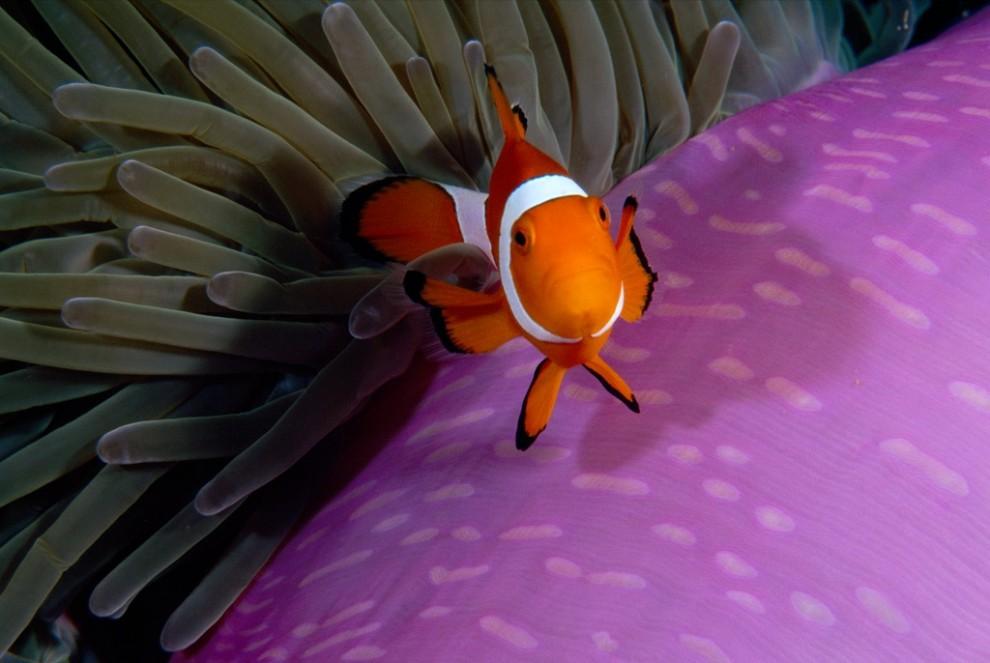 9. Рыба-клоун рядом со своим «домом» - лиловым анемоном недалеко от Сулавеси в Индонезии. Эти красочные рыбки покрыты тонким слоем слизи, именно поэтому анемоны не жалят их. (Paul Sutherland)