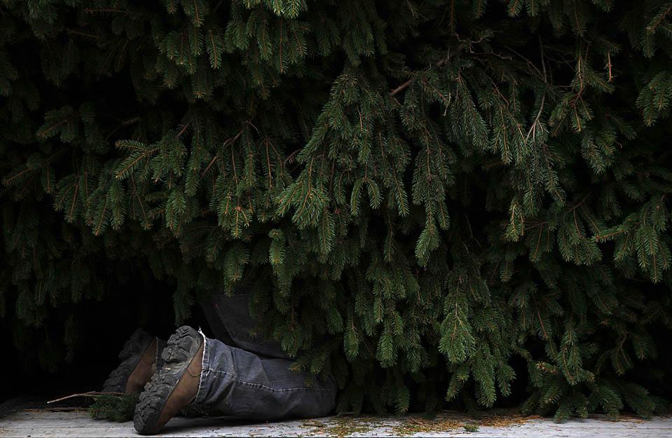 9) Работник во время подготовки рождественской елки в Центре Рокфеллера в Нью-Йорке. В этом году установлено дерево весом свыше 10 тонн и высотой в 23 метра. Огни на елки будут зажжены 2 декабря. (Seth Wenig/Associated Press)