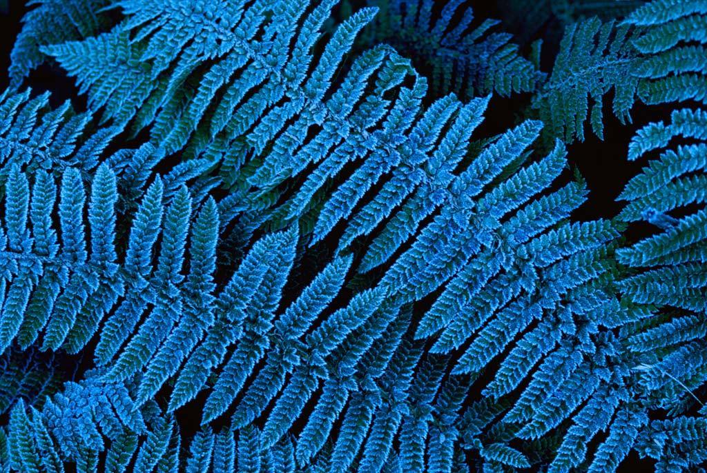 9. Иней на голубых листьях папоротника в Национальном парке Фьордланд в Новой Зеландии. Парк представляет собой изолированную территорию, на которой можно найти более 700 уникальных видов растений, не встречающихся больше нигде. (Annie Griffiths Belt)