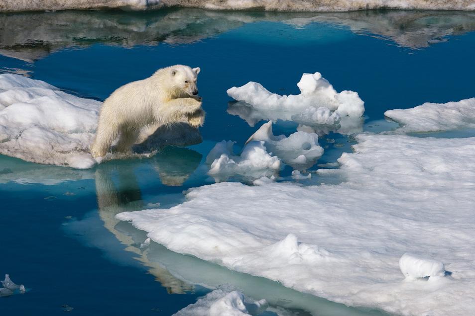 1) Молодой полярный медведь перепрыгивает с льдины на льдину. Баренцево море, Шпицберген, Норвегия.