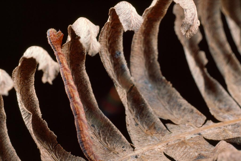 10. Витой лист папоротника предоставляет идеальное укрытие для коричневой пяденицы. Эта гавайская гусеница маскируется, а затем внезапно нападает на своих жертв. (Robert Sisson)