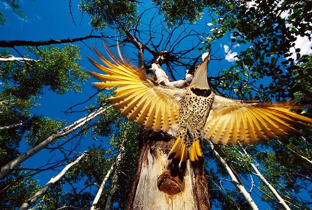10. Золотой шилоклювый дятел покидает свое гнездо в лесу в США. Этот вид дятлов может долбить деревья, но предпочитает питаться на земле. Они часто ищут муравьев в почве. (Michael S. Quinton)